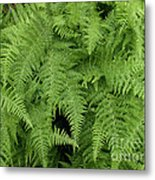 Mountain Ferns Of North Carolina Metal Print