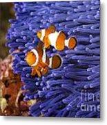 Ocellaris Clownfish Metal Print