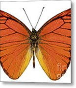 Orange Butterfly Species Appias Nero Neronis  Metal Print