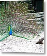 Peacock Making An Impression Metal Print
