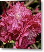 Pink Cluster Rhodie Img_2879 Metal Print