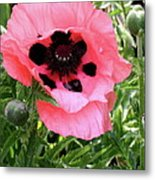 Poppy And Buds Metal Print