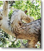 Sycamore Tree's Twisted Trunk Metal Print