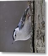 White-breasted Nuthatch Pictures 27 Metal Print