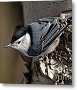 White-breasted Nuthatch Pictures 35 Metal Print