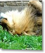 001 Lazy Boy At The Buffalo Zoo Metal Print