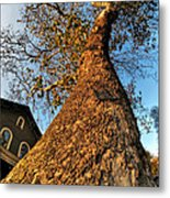 001 Oldest Tree Believed To Be Here In The Q.c. Series Metal Print