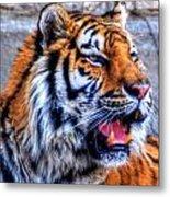 001 Siberian Tiger  Metal Print