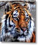 004 Siberian Tiger Metal Print