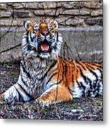 007 Siberian Tiger Metal Print
