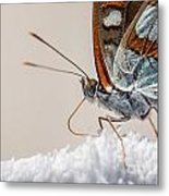 01 Southern White Admiral Butterfly Close Up Metal Print