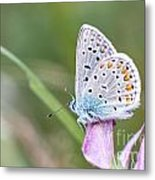 02 Common Blue Butterfly Metal Print
