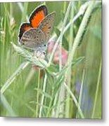 03 Balkan Copper Butterfly Metal Print