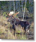 0340 Bull Moose 2 Metal Print