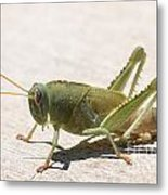 05 Egyptian Locust Grasshopper Metal Print