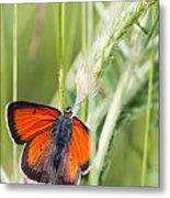 07 Balkan Copper Butterfly Metal Print