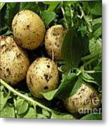 A Bunch Of Fresh New Potatoes Metal Print