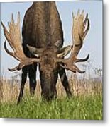 A Large Bull Moose Feeds Near Point Metal Print