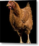 A New Hampshire Red Hen Chicken Metal Print