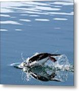 A Penguin Swims Through The Clear Metal Print