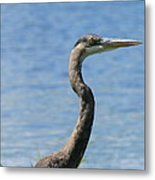 A Portrait Of A Great Blue Heron  Metal Print
