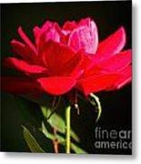 A Red Rose Metal Print