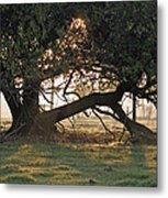 A Tree In Mississippi Metal Print