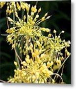 Allium Flavum Or Fireworks Allium Metal Print