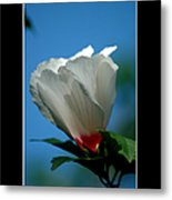 Althea Flower Metal Print