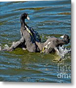 American Coots Fighting Metal Print