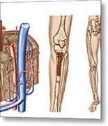 Anatomy Of Human Bone Marrow Metal Print