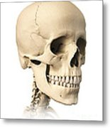 Anatomy Of Human Skull, Side View Metal Print