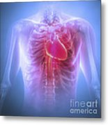 Anatomy Of The Chest Metal Print