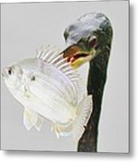 Anhinga With The Catch Of The Day Metal Print