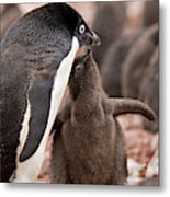 Antarctica, South Shetland Islands Metal Print