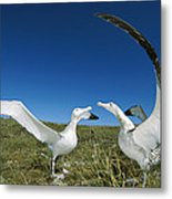 Antipodean Albatross Courtship Display Metal Print by Tui De Roy