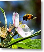 Apple Blossom And Honey Bee Metal Print