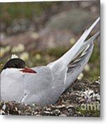 Arctic Tern In Its Nest Metal Print