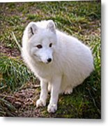 Arctic White Fox Metal Print