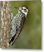 Arizona Woodpecker Metal Print