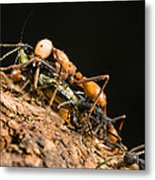 Army Ant Carrying Cricket La Selva Metal Print