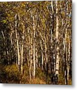 Aspen Forest In Fall Metal Print