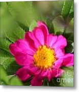 Aster From The Daylight Mix Metal Print