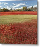 Autumn Blueberry Field Maine Metal Print