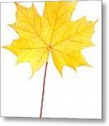 Autumn Yellow Maple Leaf  Metal Print