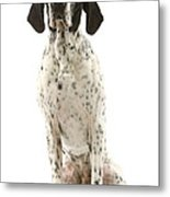 Auvergne Pointer Metal Print