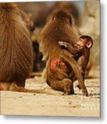 Baboon Family In The Desert Metal Print