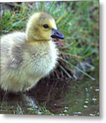 Baby Canada Goose Metal Print