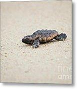 Baby Loggerhead Sea Turtle Amelia Island Florida Metal Print