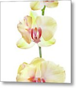 Backlit Orchids Against White Background Metal Print